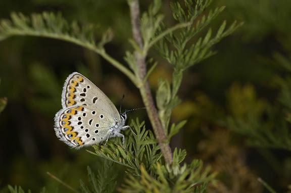 Plebeius idas naruena COURVOISIER, 1913. Kara Unkur (20 km au Sud du Col du Dolon), 18 juillet 2006. Photo : B. Lalanne-Cassou