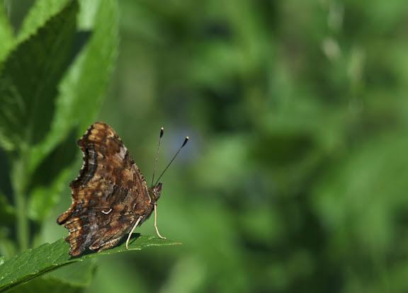 Polygonia c-album LINNAEUS, 1758. Envrions de Chemal, 5 juillet 2010. Photo : B. Lalanne-Cassou