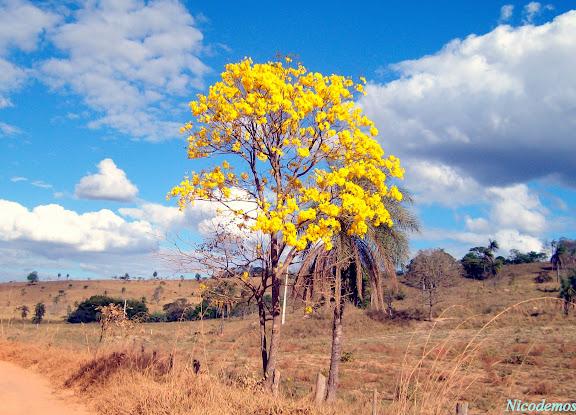 Ipê jaune. O ipê-amarelo-da-serra (Tabebuia alba) : uma árvore brasileira, nativa da Mata Atlântica. Pitangui (MG, Brésil), 15 août 2009. Photo : Nicodemos Rosa