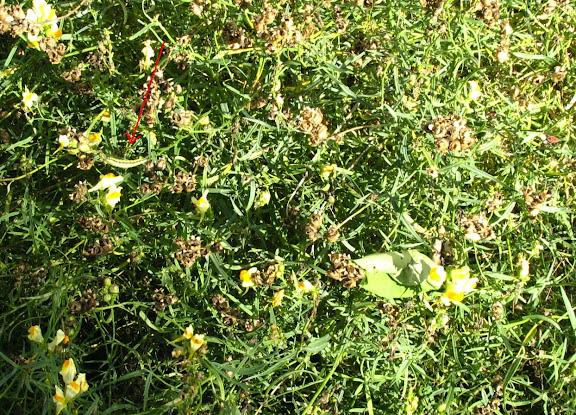 Linaria vulgaris avec chenille en L4 de Calophasia lunula HUFNAGEL, 1766. Palaiseau (91), 1er juin 2010. Photo : X. Mérit.
