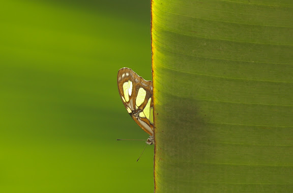 Siproeta stelenes LINNAEUS, 1758. Pulso (Ubatuba, SP), 12 février 2011. Photo : J.-M. Gayman