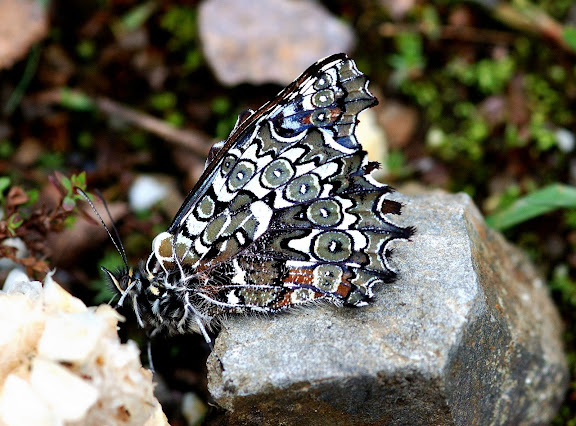 Satyrini : Pronophilina : Junea doraete HEWITSON, 1858. Allapa, route de Satipo (Junin, Pérou), 8 janvier 2011. Photo : Meena