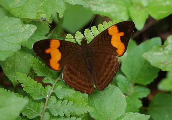 Limenitidinae : Adelpha saundersii HEWITSON, 1867. San Antonio, route de Satipo (Junin, Pérou), 6 janvier 2011. Photo : Meena