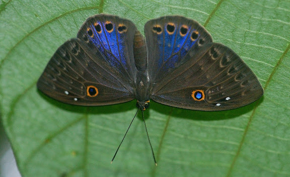 Riodininae : Eurybiini : Eurybia caerulescens DRUCE, 1904. Explorer's Inn, Tambopata (Madre de Dios, Pérou), 2 janvier 2011. Phoro : Meena