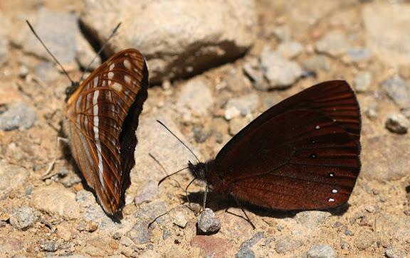 Satyrini : Pronophilina : Lymanopoda panacea HEWITSON, 1869, mâle (à droite). Limenitidinae : Adelpha alala HEWITSON, 1847. Route de Manu (Madre de Dios), Pantiacolla Lodge, 11 décembre 2008. Photo : Benoit Nabholz http://sangay.eu/ficha-principale.php?ref=483?=fr