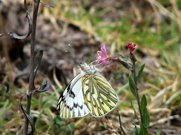 Pierinae : Tatochila autodice blanchardii BUTLER, 1881, mâle. Amaybamba, Urubamba, 3200 m, Pérou, 7 septembre 2008. Photo : J.-C. Petit