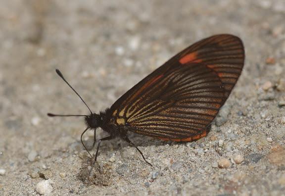 Acraeini : Actinote dicaeus LATREILLE, 1811. San Antonio (1400 m), route de Satipo (Junin, Pérou), 6 janvier 2011. Photo : Meena