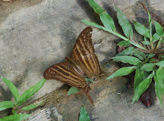Biblidinae : Cyrestini : Marpesia chiron FABRICIUS, 1775. Explorer's Inn, Tambopata (Madre de Dios, Pérou), 31 décembre 2010. Photo : Meena