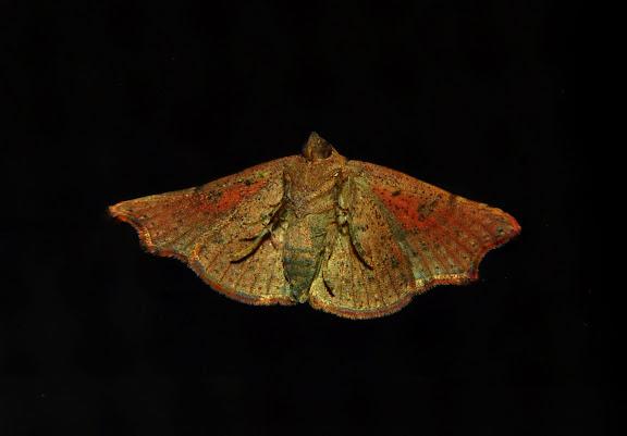 Noctuidae : Acontiinae : Sophta concavata WALKER, [1863], verso. Umina Beach (NSW, Australie), 26 avril 2011. Photo : Barbara Kedzierski