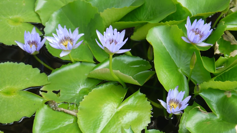 Lotus flowers by Andrew Benn - Flowers Flower Gardens (  )