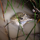 Plains spadefoot toad