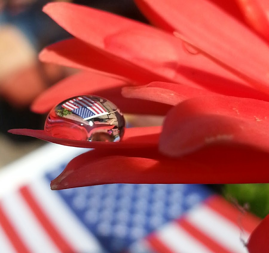 Merica by Krista Fisher - Flowers Single Flower ( macro, reflection, flag, android, america, macro photography, water droplet, flower )