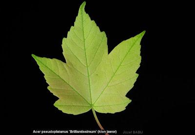 Acer pseudoplatanus 'Brilliantissimum' - Klon jawor 'Brilliantissimum'