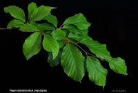 Fagus sylvatica leaf - Buk zwyczajny liście