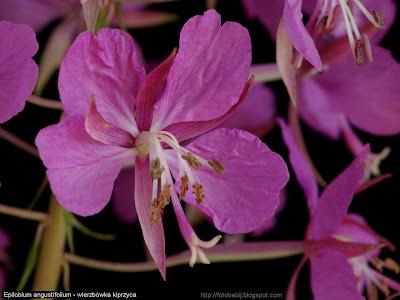 Epilobium angustifolium flower   - Wierzbówka kiprzyca kwiat
