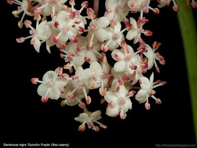 Sambucus nigra 'Guincho Purple' flowers - Bez czarny 'Guincho Purple' kwiaty