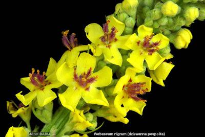 Verbascum nigrum flower - Dziewanna pospolita kwiat
