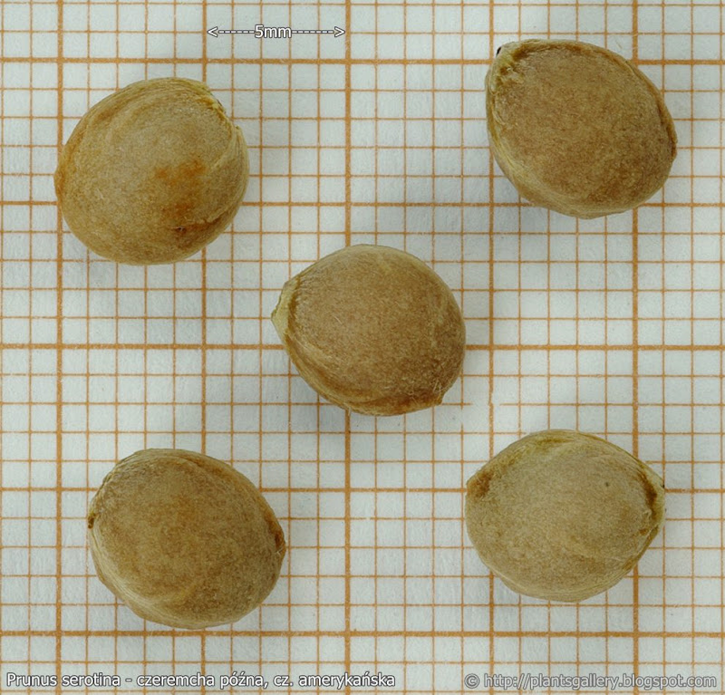 Prunus serotina seeds - czeremcha późna, cz. amerykańska nasiona