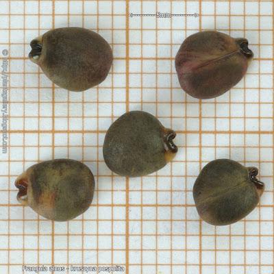Frangula alnus seed - Kruszyna pospolita nasiona