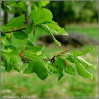 Fagus sylvatica young leaf - Buk zwyczajny młode liście