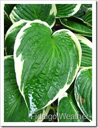 Hostas thrive in wet weather.