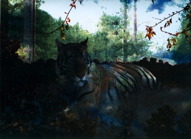 Tiger-photo-manipulation