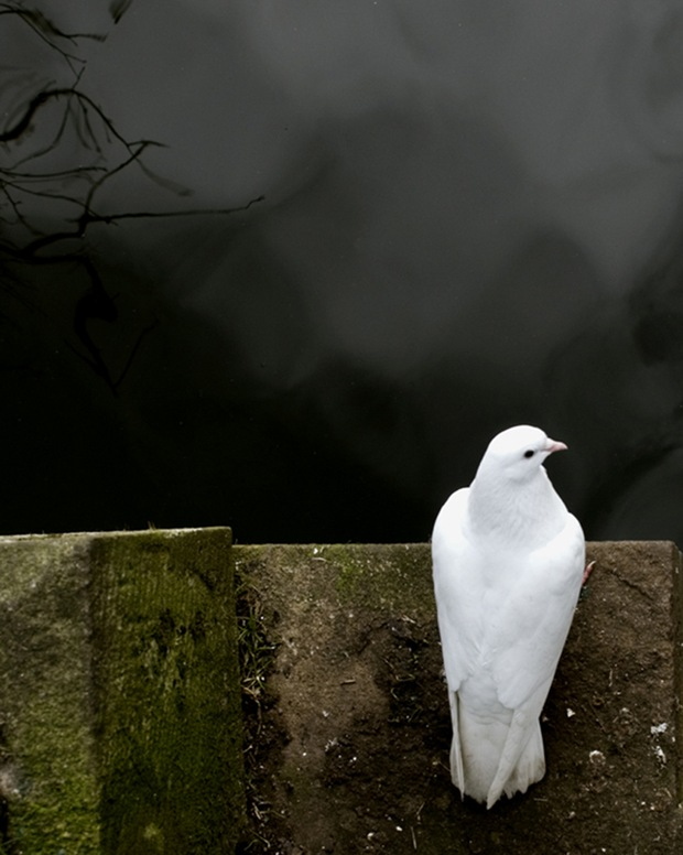 Pondering-Dove-photography