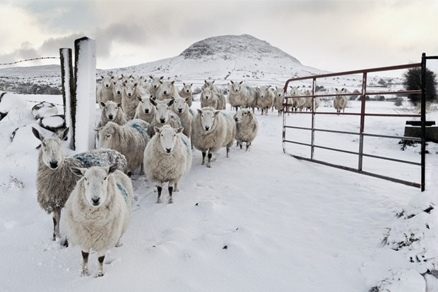 Snowy-Sheep-in-snow