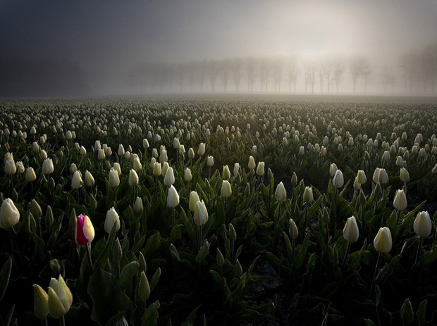 Tulip-field-photography in Netherlands