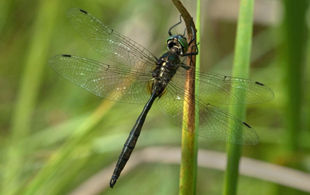 Photography of Hine's emerald dragonfly - Lockport Prairie, Lockport, Illinois