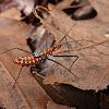 Milkweed Assassin Bug Nymph