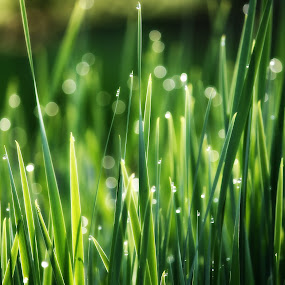 Walking in the Grass by Beth Phifer - Nature Up Close Natural Waterdrops ( blades, nature, grass, green, dew, drops, nature up close, nature close up, wet, rain )