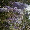 Glicina japonesa o wisteria japonesa