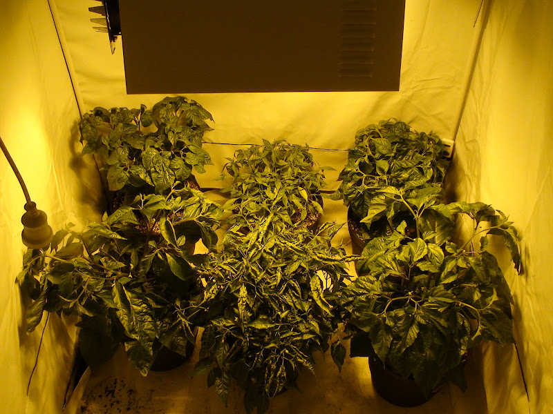 Growing indoors using CFL - Growing Hot Peppers - The Hot Pepper