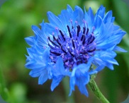 cornflower bachelors button (2)
