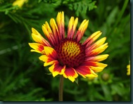 Indian Blanket Gaillardia pulchella (1)