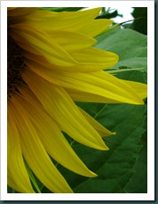 sunflower petals0731 (3)