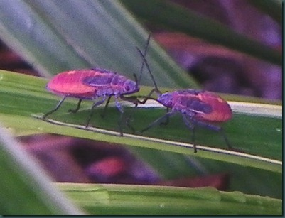 red bugs (1)