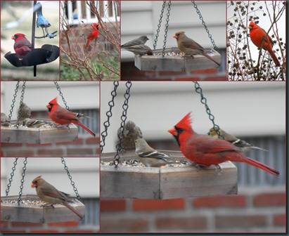 cardinal MF collage