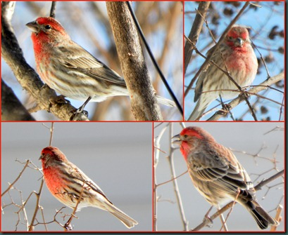 male housefinch collage