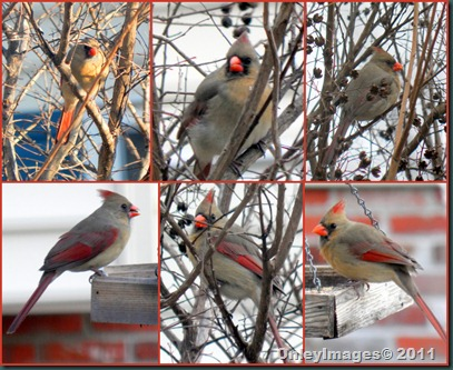 cardinal female collage1