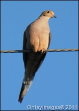 mourning dove030211 (2)
