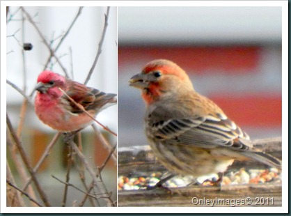 male finch collage2