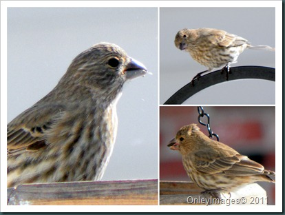 female finch collage2