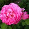 """Rosa [Mary Rose] """"AUSmary"""""""