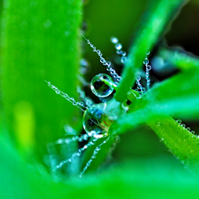 dew drops by Ashutosh Singhvi - Nature Up Close Leaves & Grasses ( dew, drops, grass leaves,  )