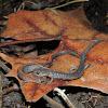 Eastern Red Back Salamander