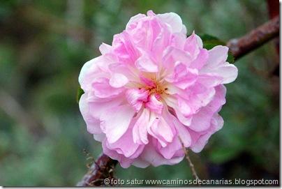 2296 Teror-Cruz Teror(Rosal silvestre)