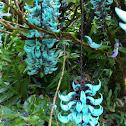 Blue jade vine
