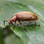 Long-jointed Beetle